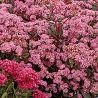 From birds and blooms  Sedum (Sedum species, Zones 3 to 10)  Take a close look and you'll see this plant's star-shaped blooms, similar to a pentas. With yellow, orange, red, pink or white flowers, it grows from 2 inches up to 2 feet high and wide. You can grow some species as ground cover, while others make good border plants.  Why we love it: Hello, butterflies! If you want flying flowers in your yard, this plant is a slam dunk.