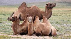 #steppes #camels #mongolia Photograph by Werner RAPPOLD -- National Geographic Your Shot