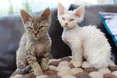 Gorgeous Devon Rex Kittens Pets4Homes