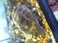 Our African Sideneck Turtle Hunter :) He's semi-aquatic.