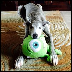 An adorable grey with his toy.