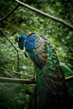 https://flic.kr/p/5CsRTs   Peacock On a Tree Branch   The Blue Peacock can sometimes fly and jump to a near tree branch.  See the bird in action here