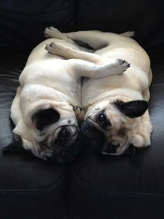 This is a perfect of how Pugs feel about each other... we could all learn from this breed.