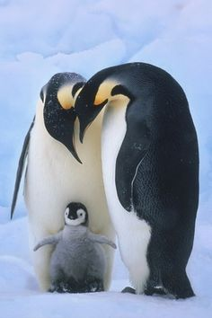 penguin family | Tumblr