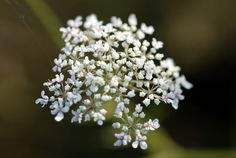 Discover how yarrow tea can help cleanse the body and provide soothing relief for anxiety. If you feel stressed and you have difficulty falling asleep, yarrow will help you as well. Hardy Perennials, Flowers Perennials, Organic Gardening, Gardening Tips, Yarrow Plant, Achillea Millefolium, Wildflower Seeds, Natural Shampoo, Natural Medicine