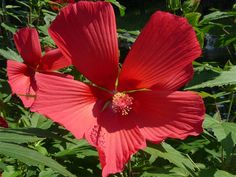 mocsári hibiszkusz -  (Hibiscus moscheutos) erősen bokrosodó (1-1,5 méter), szőrös szárú, fás szárú évelő. Észak-Amerika lápos, mocsaras vidékein honos. Magról és tőosztással is szaporíthatjuk. Magról vetve a 2. évben kezd bokrosodni, de már az első évben is hozhat virágot. Magot a magfogás céljából meghagyott, elnyílt virágokról foghatunk, amikor magtok barna színűre érik. Magokhoz a termés feltörésével jutunk. A begyűjtött magvakat száraz, hűvös, sötét helyen tároljuk tavaszig, pl…
