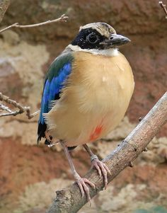 Pitta moluccensis, blue winged pitta.  Pittas are medium-sized birds 5.9–9.8 in length, and stocky, with longish strong legs & long feet. They have very short tails and stout, slightly decurved bills. Many have brightly coloured plumage. They eat snails, insects & similar invertebrate prey. Both parents care 4 up to 6 eggs in a large spherical nest in a tree or shrub, or sometimes on the ground. Many species of pittas are migratory,  often end up in unexpected places