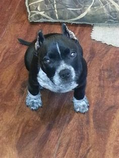 American Bully♡ Pit Bulls & Parolees, American Bullies, Awesome Dogs, Cane Corso, French Bulldogs, Canes, Beautiful Dogs, Rottweiler, Mans Best Friend