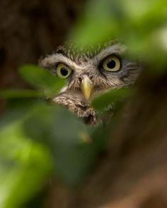 flora and fauna Nature Animals, Animals And Pets, Cute Animals, Beautiful Owl, Animals Beautiful, Funny Bird, Owl Pictures, Owl Bird, Tier Fotos