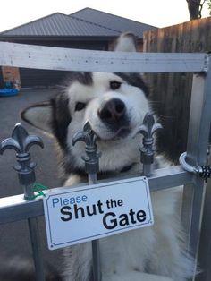 "WARNING KUVASZ WITH AN ATTITUDE 4/"" TATTERED EDGE DOG CANINE STICKER"