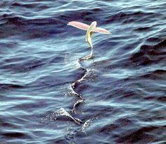 flying fish...awesome!