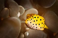 Have seen this little thing for 4 times during the diving in Malaysia [juvenile box fish] Sea Aquarium, Undersea World, Deep Sea Creatures, Underwater Creatures, Mundo Animal, Amphibians, Marine Life, Natural Wonders, Under The Sea