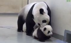 Baby panda really doesn't want to go to bed