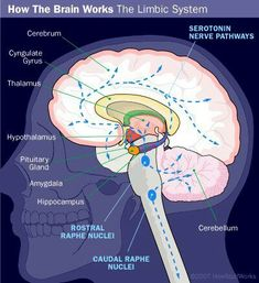 THE BRAIN: The Limbic System makes up the entire brain, controlling thinking…