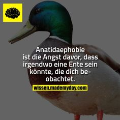 Anatidaephobie ist die Angst davor, dass irgendwo eine Ente sein könnte, die dich beobachtet.