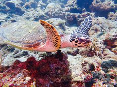 Come and swim with a turtle. Dive in Bali and stay at Villa Tengguli www.villatengguli.com