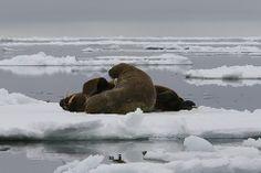 Walrus, coast of Greenland