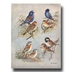 Blue Bird Art, Antique Bird Book Plate (Home Office Wall Art, 1930s Bird Print) No. 74 --------- From a beautiful series of vintage bird art