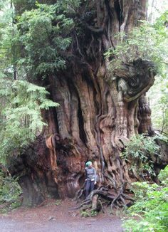possibly world's largest western red cedar, Olympic Peninsula, WA state