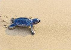 Aruba: One Happy Island, lots of happy turtles.