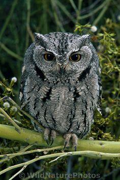 Western Screech Owl, Megascops kennicottii, in Palo Verde Sonoran Desert, Arizona (He looks like the bark of a tree. Owl Photos, Owl Pictures, Owl Bird, Pet Birds, Nocturne, Western Screech Owl, Grand Duc, Beautiful Owl, Arizona