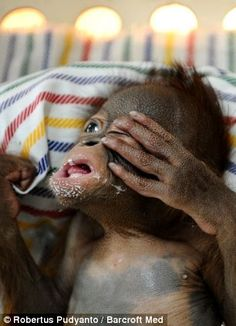 Say hello to Rizki, the tiny nappy-wearing orangutan who is hand-reared on milk and mashed banana after his mother rejected him at birth List Of Animals, Zoo Animals, Cute Animals, Monkey See Monkey Do, Ape Monkey, Baby Orangutan, Chimpanzee, Animal Species, Monkey Business