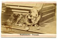 "The Antique Dog Photograph Gallery: The legendary Nortumbrian Border Collie ""Wandering Willie"""