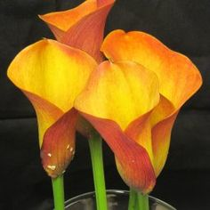 Orange and Yellow Calla Lilies 1