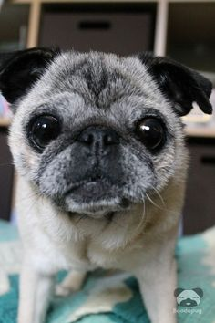 Such a cute face. Pugs are the cutest! Such a cute face. Pugs are the cutest! Cute Pugs, Cute Puppies, Bulldog Puppies, Fu Dog, Dog Cat, Old Pug, Black Pug Puppies, Pugs And Kisses, Baby Pugs