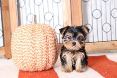 Adorable, Sweet...💕🐶 ..& #Lovely!! Lil' #Yorkie pups are small buddies that love to cuddle, yet enjoy playing with you. Companions that are sure to adore you, they love staying at your side. #YorkshireTerrier #Charming #PinterestPuppies #PuppiesOfPinterest #Puppy #Puppies #Pups #Pup #Funloving #Sweet #PuppyLove #Cute #Cuddly #Adorable #ForTheLoveOfADog #MansBestFriend #Animals #Dog #Pet #Pets #ChildrenFriendly #PuppyandChildren #ChildandPuppy #LancasterPuppies www.LancasterPuppies.com Yorkie Puppy For Sale, Pet Puppy, Puppies For Sale, Puppy Love, Cute Puppies, Yorkie Puppies, Small Dog Breeds, Small Dogs, Yorky