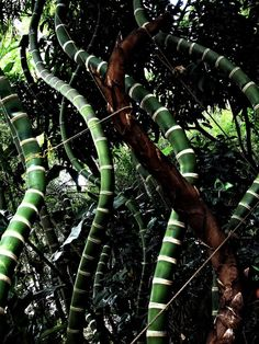 """Guadua Bamboo, better known as """"World's Strongest Bamboo"""" or """"Vegetal Steel"""" is a giant South American bamboo species with a higher tensile strength than steel."""