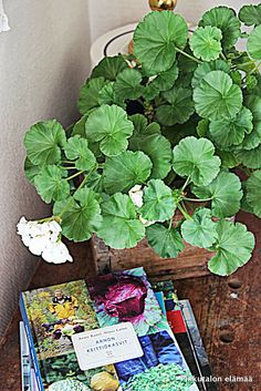 Pikkutalon elämää: Pelargonia perunavakassa