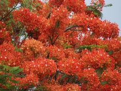 An unusually prolific bloom on a malinche tree (royal ponciano, Delonix regia- may flowers in India) in Tamarindo.  There are usually scattered blooms mixed in with the foliage.  This leguminous tree makes a bean pod that is almost a meter long.
