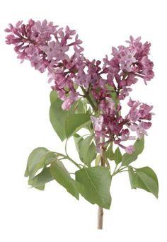 Lilas significado - Lilas - Díselo con flores; Descubre el misterioso lenguaje de las flores