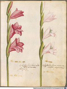 31 ( - Digitised Book from the copyright-free holdings of the Bavarian State Library Munich [Germany] Image-based Similarity Search Vintage Botanical Prints, Botanical Drawings, Botanical Art, Gladiolus, Plant Illustration, Arte Floral, Natural History, Watercolor Paintings, Historical Illustrations