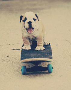 Skater Pup… I really need to teach my Bulldog how to skateboard. Or what I should say is, I really need to get my Bulldog a skateboard and get out of her way! Love My Dog, Puppy Love, Cute Puppies, Cute Dogs, Dogs And Puppies, Doggies, Bulldog Puppies, Baby Animals, Funny Animals