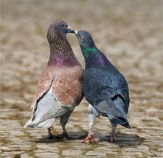 Pigeon Love Wallpaper