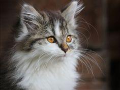 #kitten #cats #cute Siberian Forest Cat, Siberian Cat, Warrior Cats, Unique Animals, Cute Animals, I Love Cats, Cute Cats, Cutest Animals On Earth, Cat Character