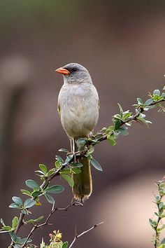 Great Pampa Finch, Embernagra platensis, Brazil. Naturetrek Wildlife Holidays >Bolivia's Lowlands