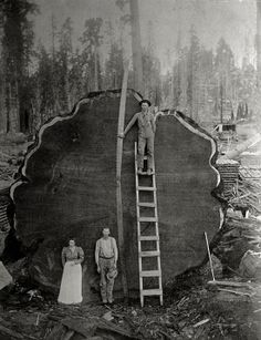 Loggers and the giant Mark Twain redwood cut down in California, 1892. Photograph by N.E. Beckwith