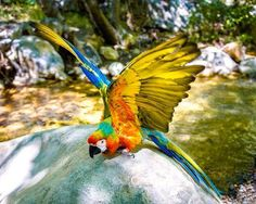 Learn all you wanted to know about macaws with pictures, videos, photos, facts, and news from National Geographic.