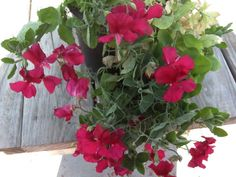 Aprille's SoCal Gardening ✿❀✾: Early Sweet Peas