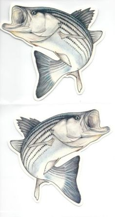 Striper Bass Fish Decals color two decals right and left new FS137
