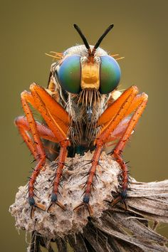 Article: Focus Stacking with Photoshop Another robber fly, focus stacked from 11 different shots.