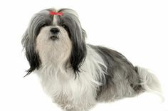 Shih Tzu Pictures | Photos and Images of the Shih Tzu