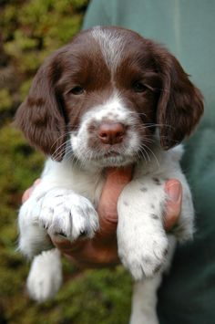 Can't help but love this lil face! English Springer Spaniel.