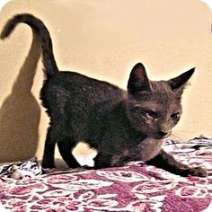 Cherry Hill, NJ - Domestic Shorthair. Meet Lavender, a kitten for adoption… Facts about Lavender Breed: Domestic Shorthair Color: Gray Or Blue Age: Kitten Sex: Female ID#: 10526591 Hair: Short