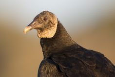 Black Vulture (Coragyps atratus) One Handsome Devil - Sunrise Portrait | by Jeff DyckAmerican