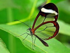 Glasswing Butterfly - WOW!