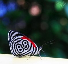The Eluina Eighty-eight (Diaethria eluina), or 88 butterfly found from Peru to Bolivia and Brazil.
